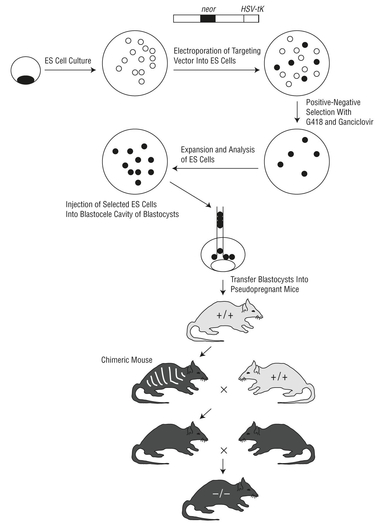 Transgenic Mouse Models and Human Neurodegenerative