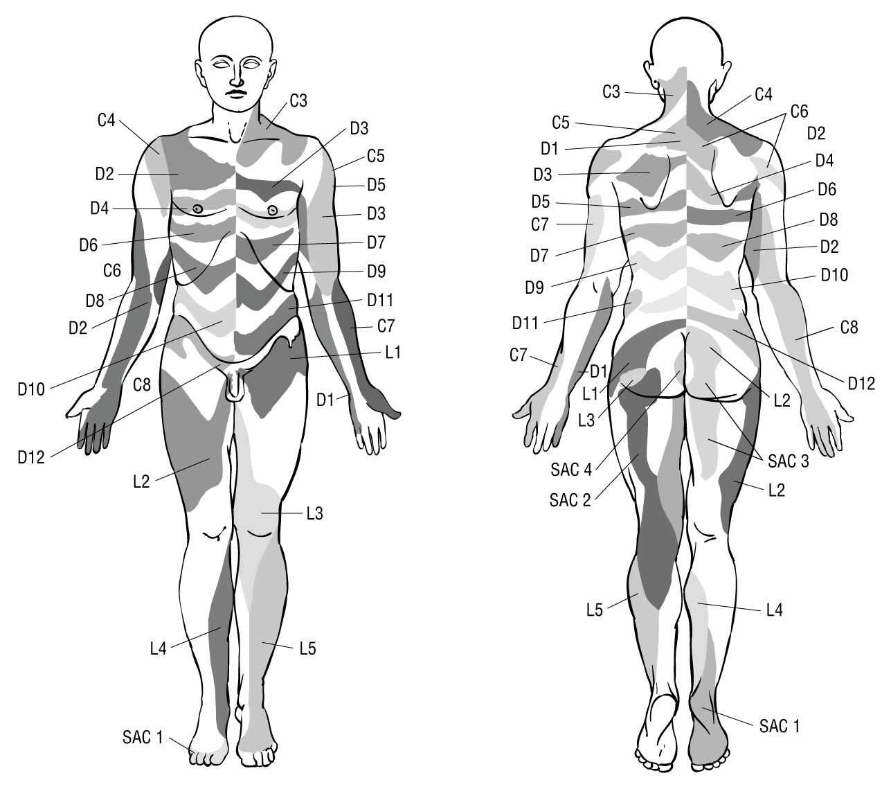 The History Of Dermatome Mapping History Of Medicine Jama